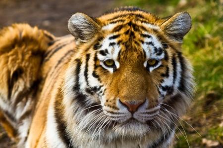 sumatran tiger: Closeup of tiger relaxing in the sun
