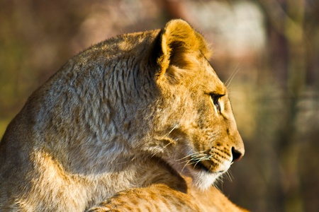 A young lioness resting in the sun.