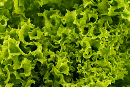 full frame close up photo of green lettuce - for background or texture