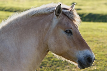 warmblood: Palomino horse portrait