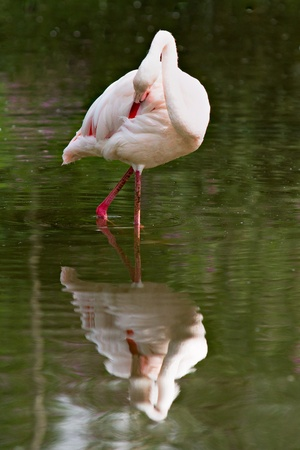 feathering: Single flamingo in water with reflection