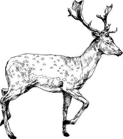 white tail deer: hand drawn deer