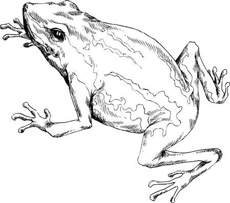 croaking: hand drawn frog