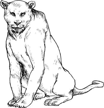 panthera pardus: hand drawn cougar panther
