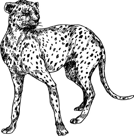 hand drawn cheetah Vector