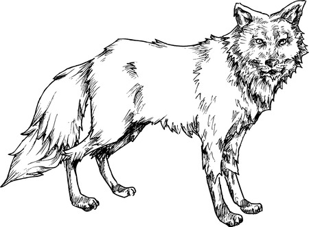 hand drawn wolf Vector