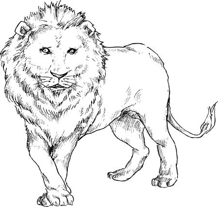 hand drawn lion Vector