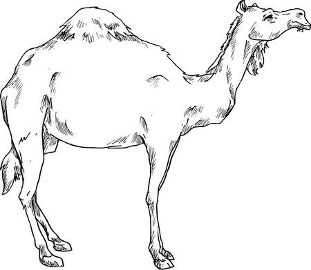 cartoon camel: hand drawn camel Illustration
