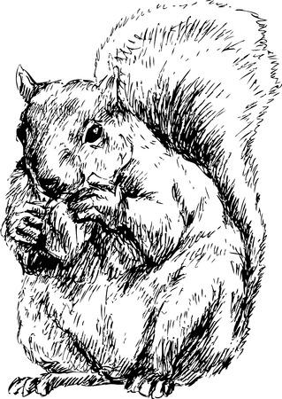 hand drawn squirrel Vector