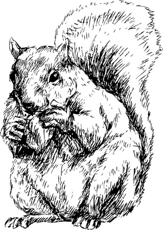 hand drawn squirrel Vector