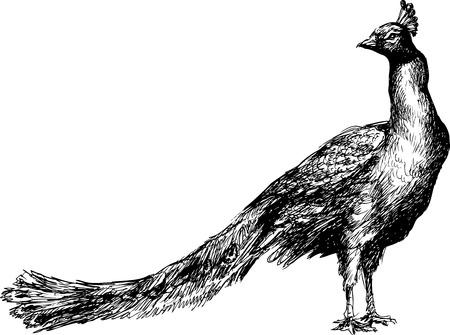 naturalist: hand drawn peacock