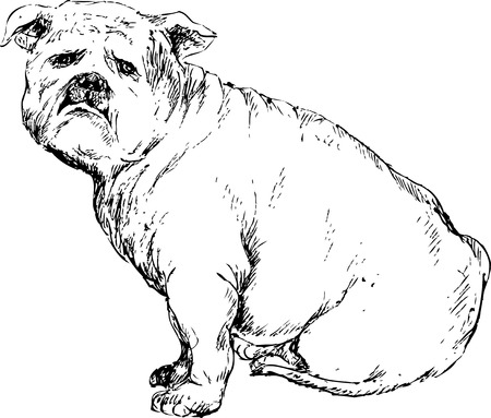 hand drawn english bulldog Stock Vector - 27324678