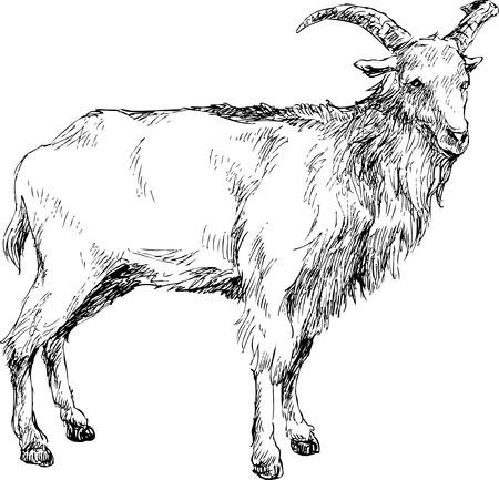 hand drawn goat Vector