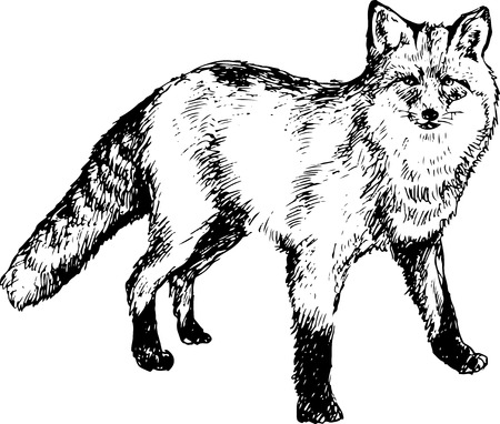 hand drawn fox Vector