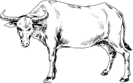 hand drawn buffalo Vector