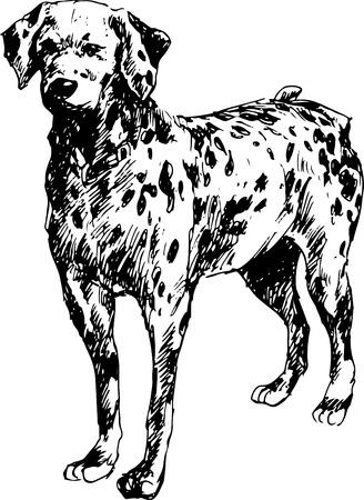 dalmation: hand drawn dalmation dog