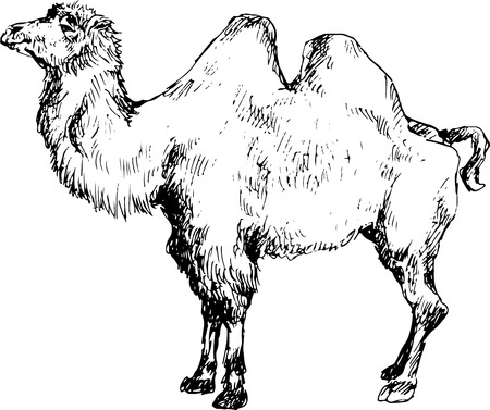 borden: hand drawn camel Illustration