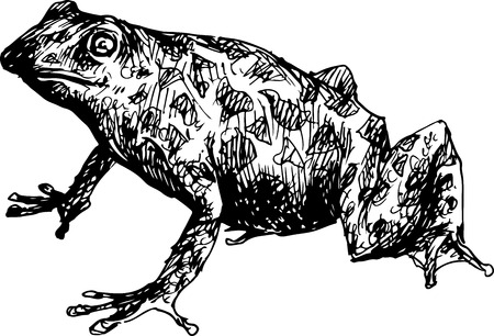 bullfrog: hand drawn frog