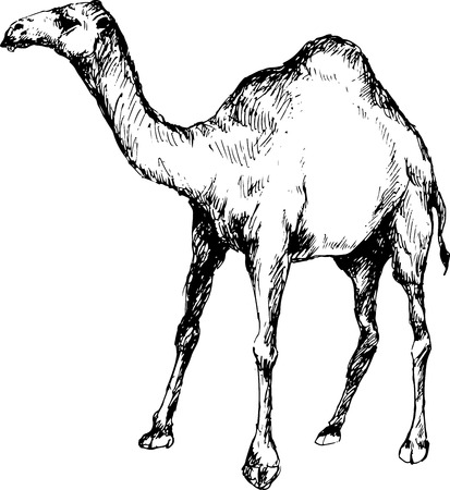 hand drawn camel Vector