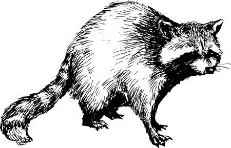 hand drawn raccoon Vettoriali