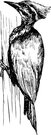 hand drawn Lineated Woodpecker  Dryocopus lineatus  Illustration