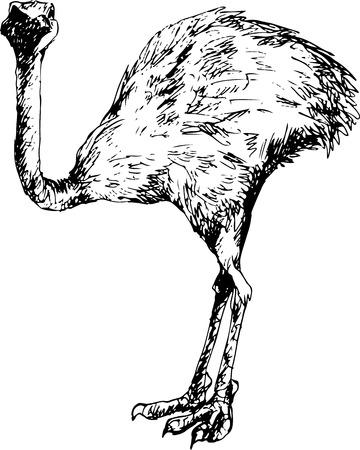emu bird: hand drawn ostrich Illustration