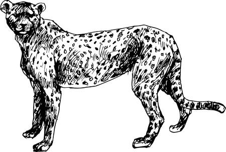 hand drawn cheetah Vector