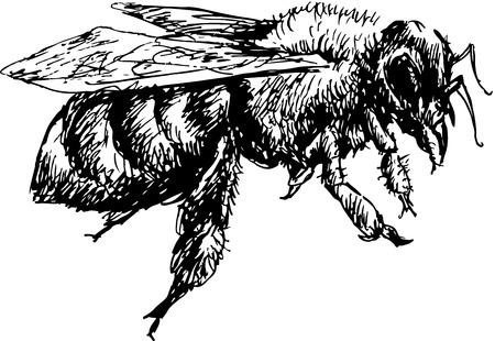miel de abeja: abeja dibujado a mano Vectores