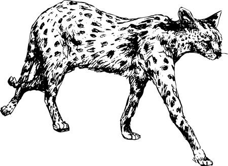 panthera pardus: hand drawn cheetah