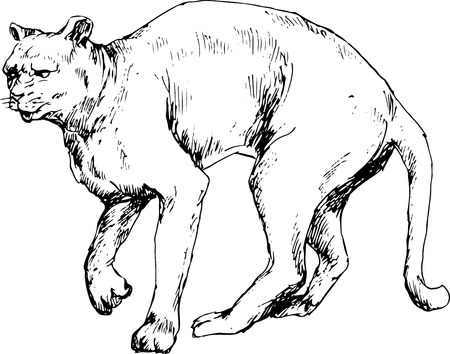 panthera: hand drawn cougar  puma