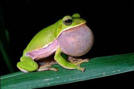 chew over: Tree frog courtship Stock Photo