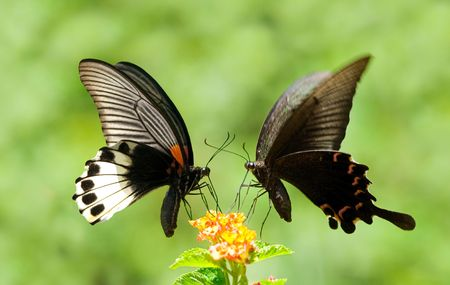swallowtail: Two Swallowtail Butterflies share one flowers Stock Photo