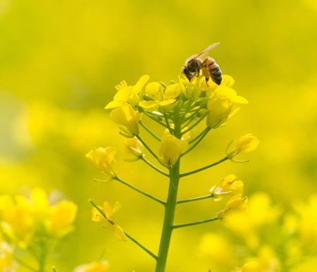 The bee feeding on yellow flowers photo