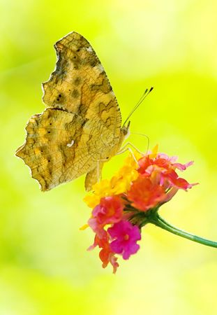 papilionidae: Butterfly feeding, Yellow Brush-footed butterflies, Asia Stock Photo