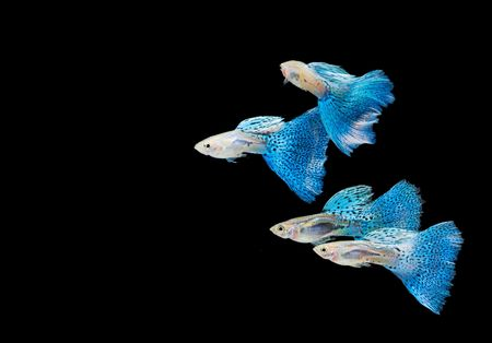 freshwater fish: Swimming blue guppy, tropical fish pet