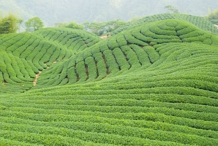 Tea farm in Taiwan, East Asia photo