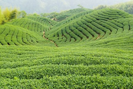 Tea farm in Taiwan, East Asia photo