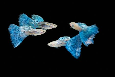 Swimming blue guppy, tropical fish pet photo