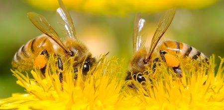 Two Bees and dandelion flower, series of dandelion. photo