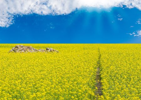 Yellow flowers blossom in sunny field Stock Photo - 5094521