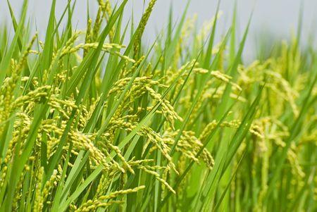성숙한 논 쌀. 쌀은 아시아의 주요 음식입니다. 스톡 콘텐츠