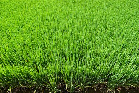 Green field, Asia paddy field Stock Photo - 5150419