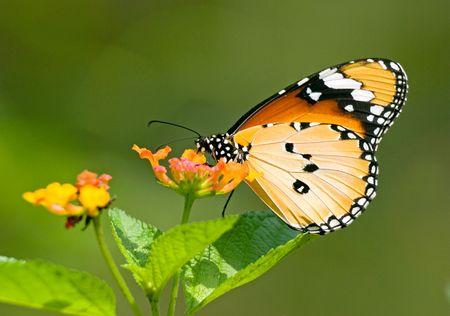 Milkweed butterfly (Anosia chrysippus, Danaidae) feeding on flower Stock Photo
