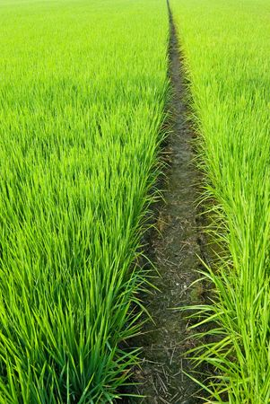 Green field, Asia paddy field Stock Photo - 5205843