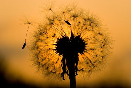 dandelion seed: dandelion seed start to fly under sunset Stock Photo