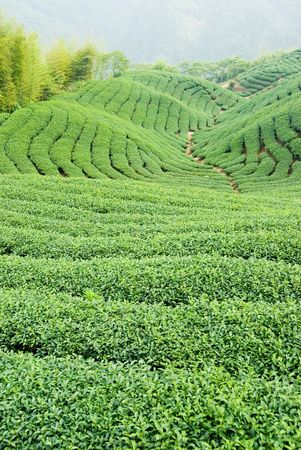 Full of tea trees on hill, asia  photo