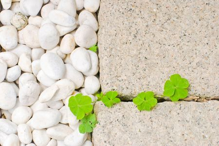 creeping oxalis: white pebble with green leaf in garden