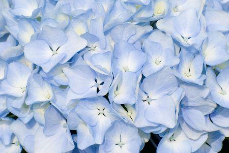 hydrangea macrophylla: colorful fresh flower background, hydrangea flower.