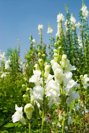 snapdragon: white flowers in the field under blue sky, sunny day, Snapdragon