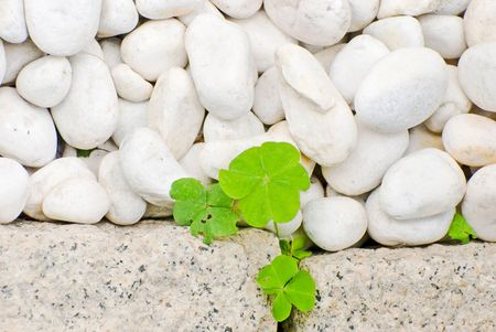 white pebble and newborn creeping oxalis leaf in Japanese garden Stock Photo - 5536263